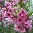Peach Tree Flower